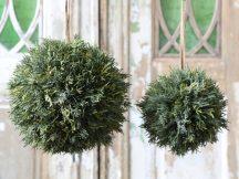 Ciprus Labda - 20 cm.